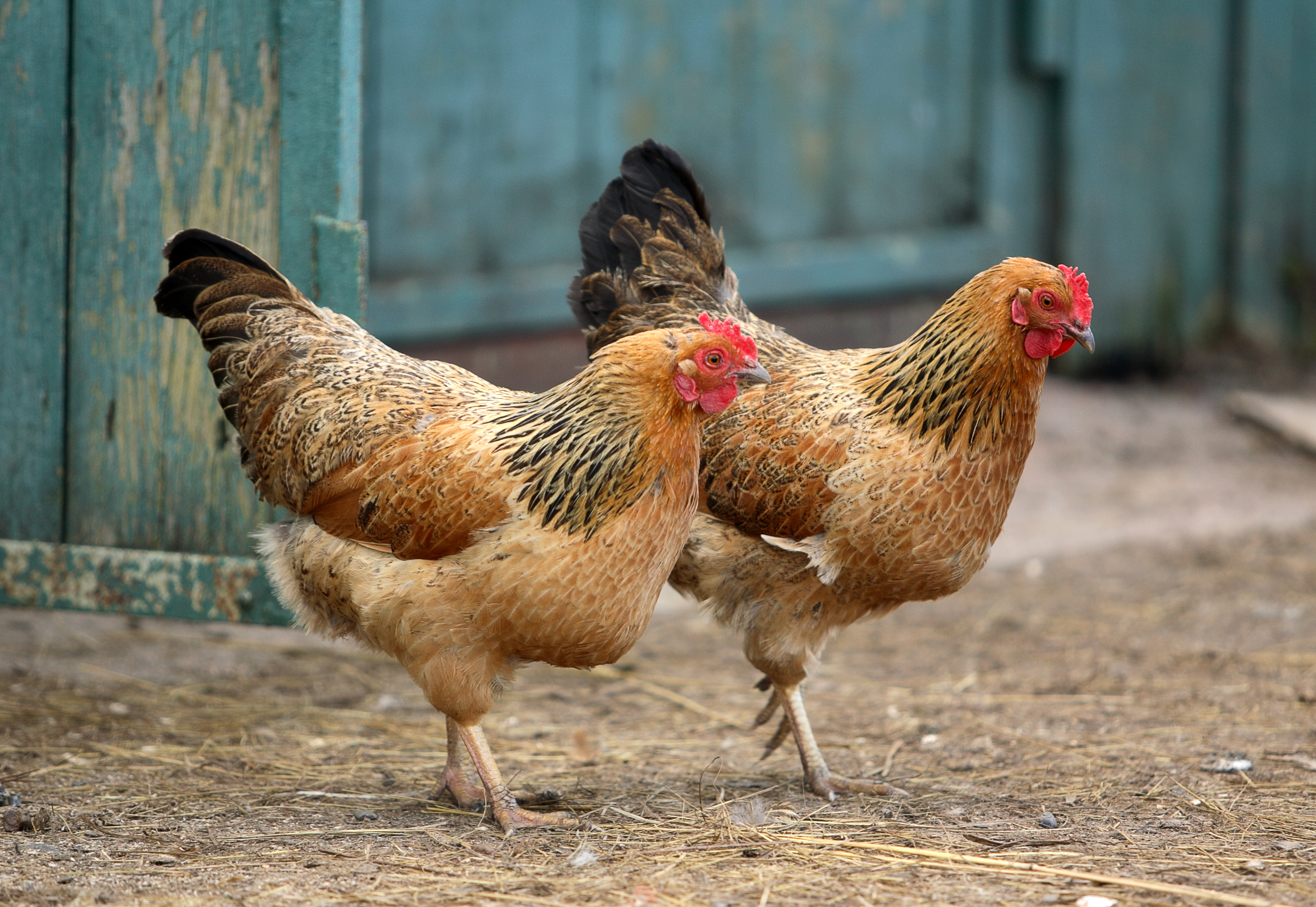 Two running hens